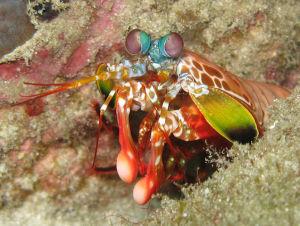 Udang mastis, Odontodactylus scyllarus. (Credit: Silke Baron, Flickr)