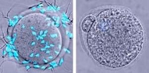 Sperma (biru) melekatkan diri ke sel telur kontrol (kiri) tetapi tidak dapat berikatan dengan sel telur karena sel telur kekurangan glikoprotein ZP2 (kanan). (Credit: Avella et al., 2014)