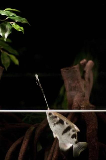 ikan pemanah