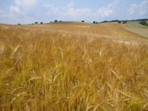 lahan gandum