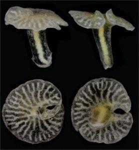 organisme laut dalam berbentuk jamur