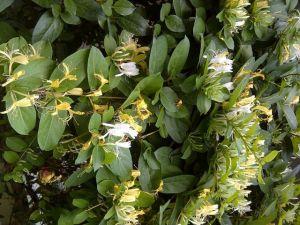 tanaman lonicera