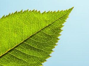 daun tanaman