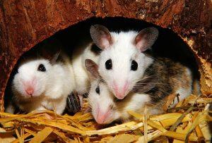 mencit, tikus