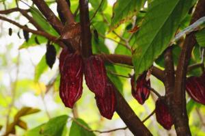 buah kakao