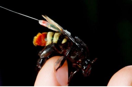 Lebah anggrek