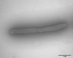 Marinilactibacillus piezotolerans, salah satu bakteri sedimen dasar laut. (Photo: Toffin et al., 2005. IJSEM. doi: 10.1099/ijs.0.63236-0.