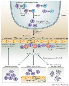 Mekanisme antimikroba dari sel MAIT