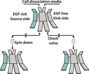 Desain perangkat mikofluida untuk memilah sel-sel kanker yang agresif.