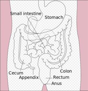 Ilustrasi, diagram saluran pencernaan bawah.
