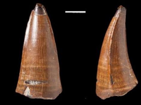 Fosil gigi dakosaurus yang ditemukan di Chesil Beach di Dorset, Inggris.