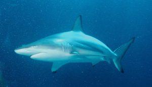 Hiu sirip hitam (Carcharhinus limbatus).