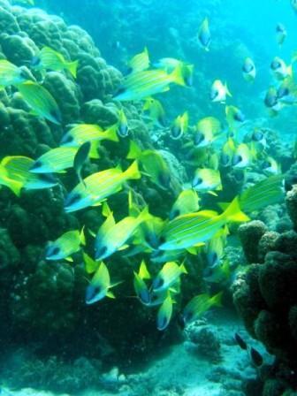Sekumpulan ikan bluestripe snapper di perairan Kenya.