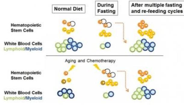 Selama puasa, jumlah sel-sel ipunca hematopoietik meningkat, namun jumlah sel darah putih (biasanya berlimpah) mengalami penurunan. Pada tikus muda atau sehat yang menjalani puasa berulang kali / siklus re-feeding, populasi sel induk meningkat (dalam ukuran) meskipun jumlah sel darah putih tetap normal. Pada tikus dan tikus tua yang mengalami kemoterapi, siklus puasa membalikkan imunosupresi (berkurangnya kemampuan sistem imun) dan immunosenescence (kerusakan secara bertahap sistem imun akibat bertambahnya usia). (Credit: Cell Stem Cell, Cheng et al. 2014)