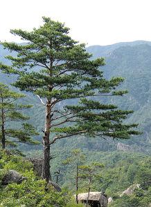 Pinus merah jepang