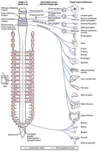 Sistem saraf parasimpatik. (Image: OpenStax College, Connexions Web)