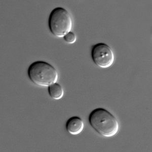 Saccharomyces cerevisiae.