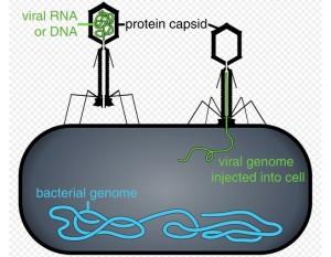 Beberapa bakteriofag menyuntikkan genomnya ke dalam sel bakteri. (Image: Thomas Splettstoesser)
