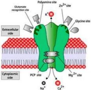kompleks reseptor NMDA