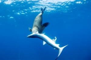 anjing laut, hiu biru