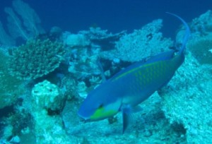ikan kakatua, parrotfish