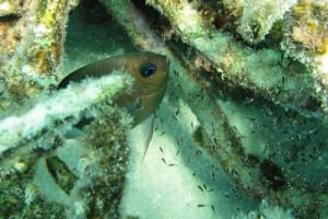 ikan karang, Spiny Chromis