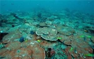 terumbu karang, porites