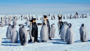 penguin kaisar, penguin emperor