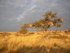 sabana, afrika