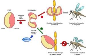 malaria, eritrosit, viagra