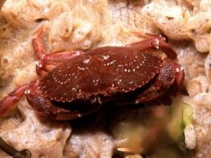 kepiting batu, habitat