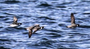 burung laut