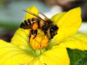 lebah madu, insektisida