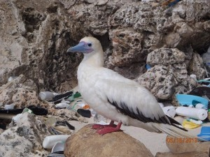 burung laut, red-footed booby