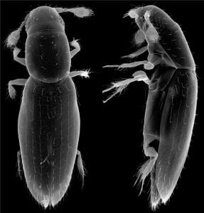 serangga, Scydosella musawasensis
