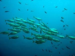kelompok ikan, laut