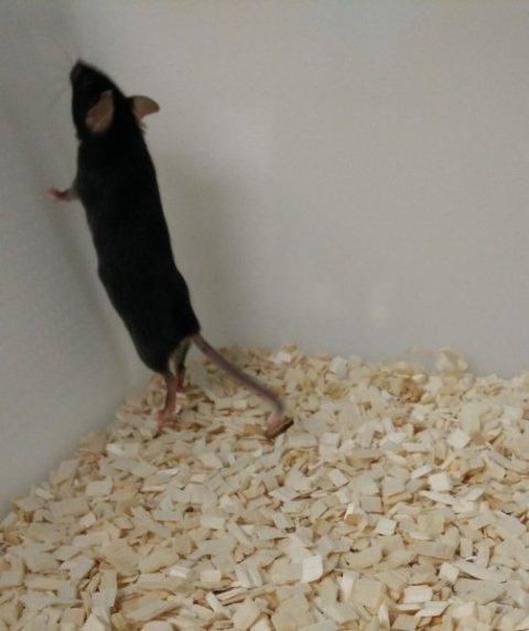 tikus, rearing, asam piruvat