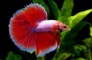Ikuti Ini Agar Sukses Mengawinkan Ikan Cupang